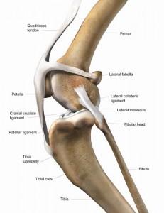 Cranial-Cruciate-Ligament